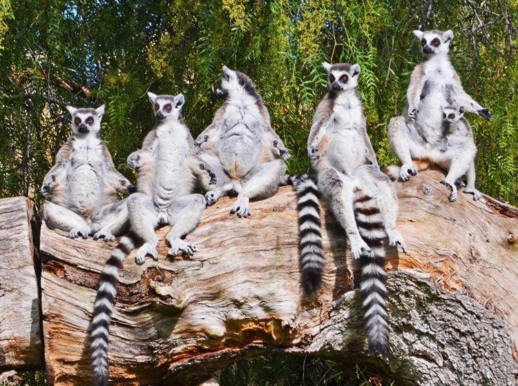Lemurs en la isla de Madagascar en Bioparc