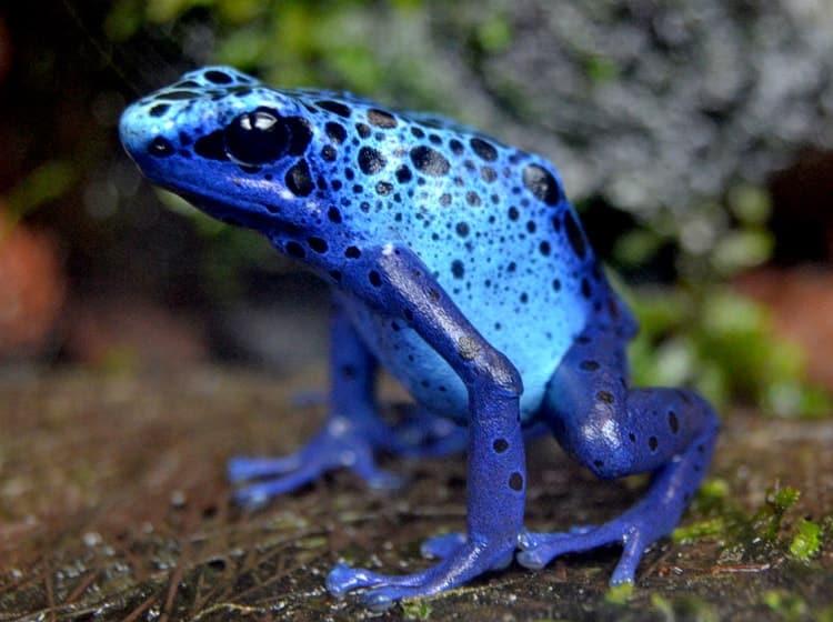Rana veneno azul