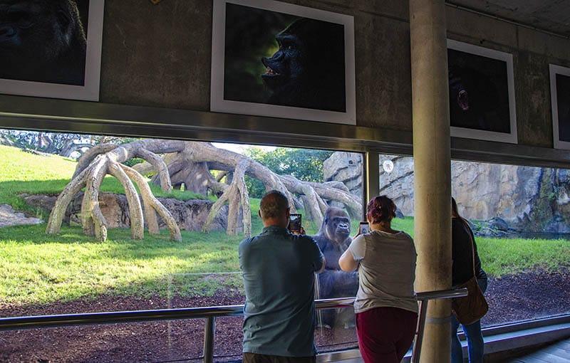 Exposición de gorilas en Bioparc