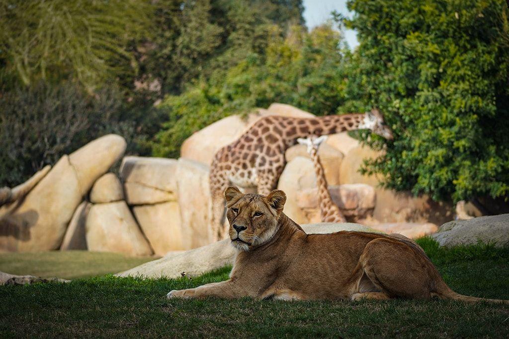 Leona y jirafa de Bioparc