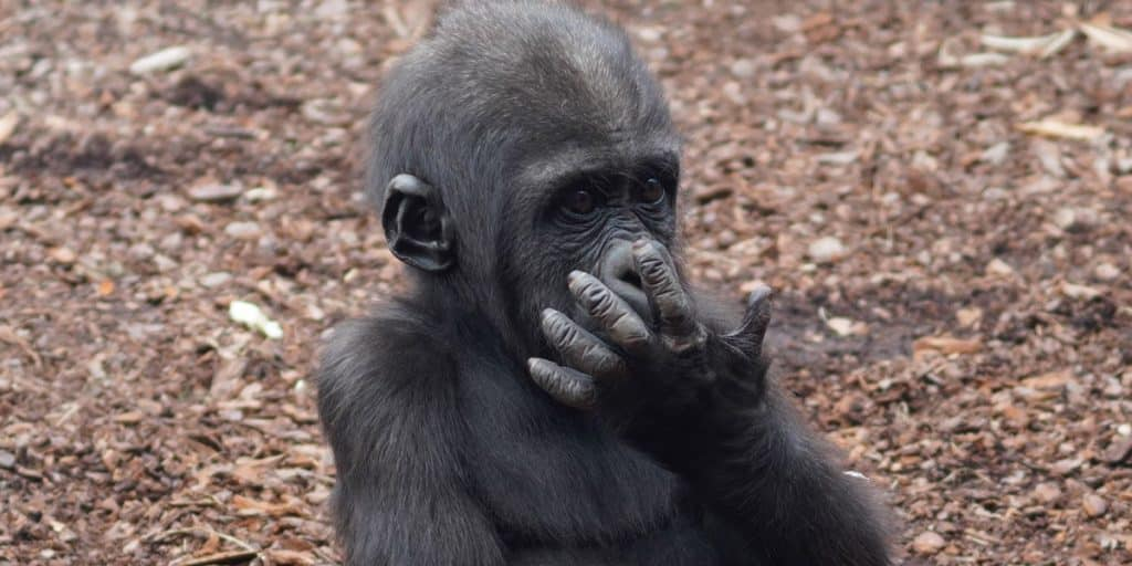 Bebe gorila de Bioparc