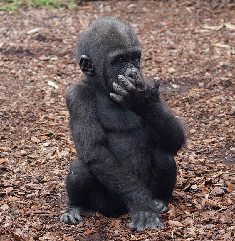 Felix el bebe gorila