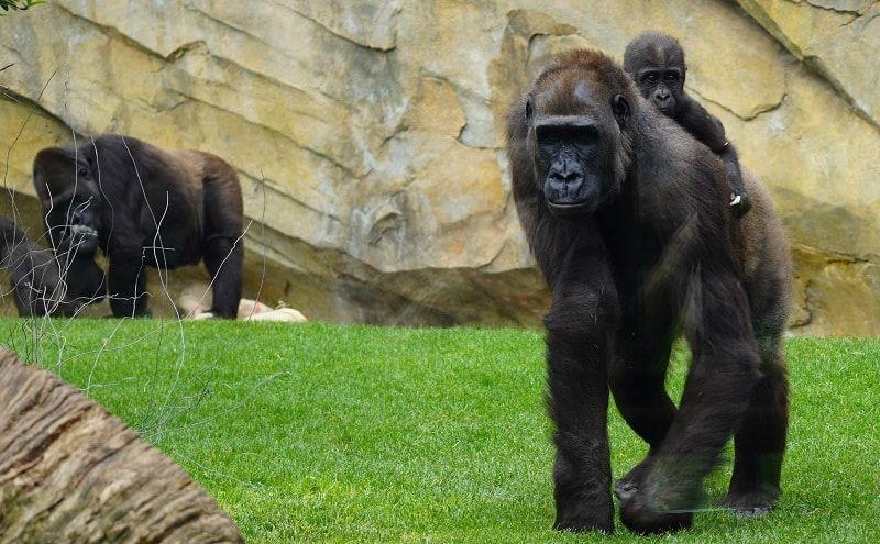 gorilas bioparc