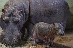 Bebé hipopótamo de Bioparc