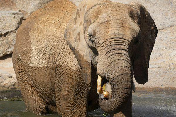 Elefante come helado en Bioparc
