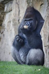 Orangután comiendo helado en bioparc